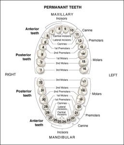 Teeth Numbering Diagram courtesy of DentalCare.com